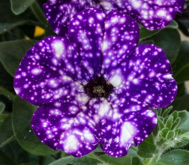 sternenblume (1 von 3)